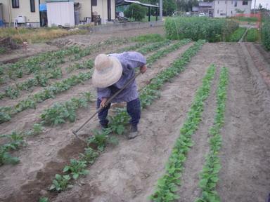 ジャガイモ土掻き込み12_05_05