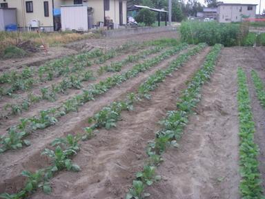 ジャガイモ畑12_05_05