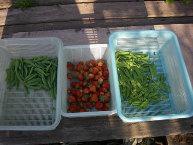 収穫朝12_05_05