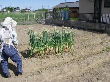 刈り取り後12_05_12