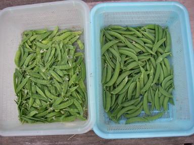 収穫エンドウ12_05_14