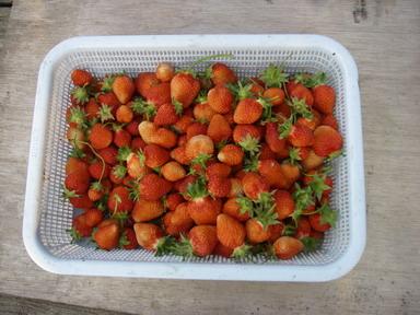 収穫イチゴ12_05_14