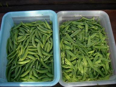 収穫エンドウ12_05_15