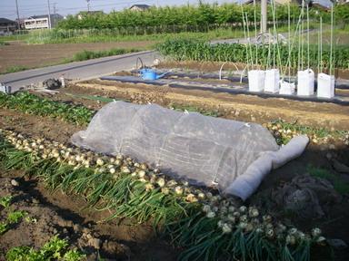 タマネギ収穫12_05_19