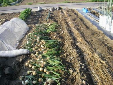 タマネギ収穫212_05_19