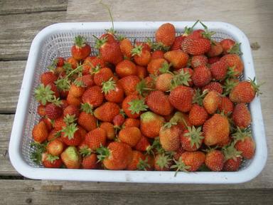 収穫イチゴ12_05_20
