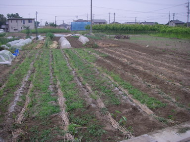 里芋畑12_05_22