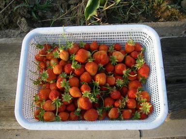 収穫イチゴ12_05_23