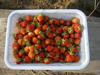 収穫イチゴ12_05_24