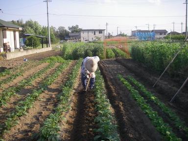 ジャガイモ土寄せ1回目12_05_06