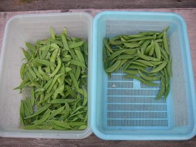 収穫エンドウ12_05_27