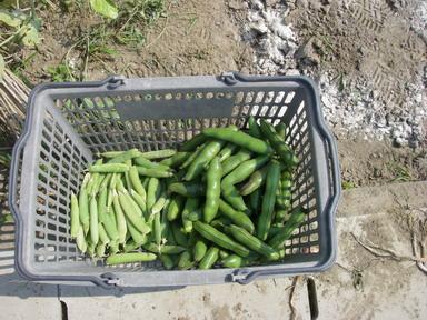 収穫そら豆12_05_27