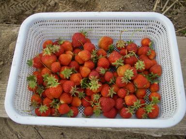 収穫イチゴ12_05_27