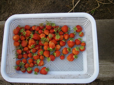 収穫イチゴ12_05_29