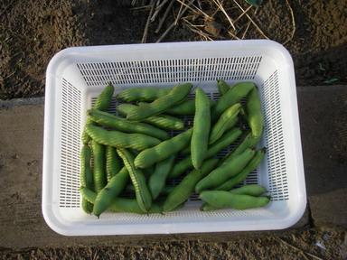 収穫そら豆12_05_30