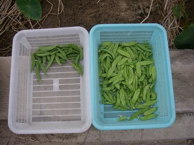 収穫12_05_31