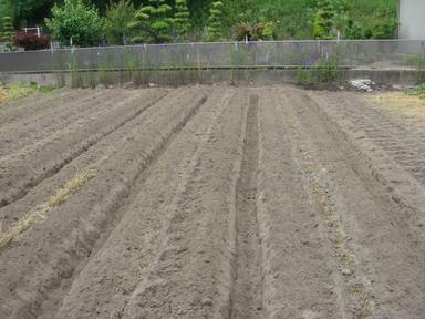 サツマイモ畝作り12_06_03
