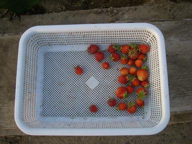 収穫イチゴ12_06_04
