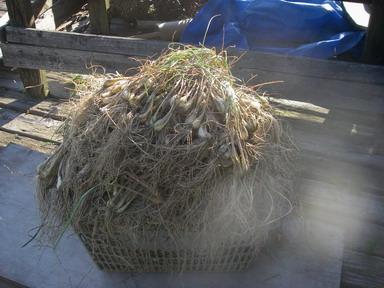 ラッキョウ収穫12_06_10