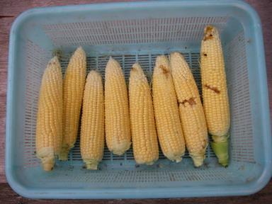 収穫スイートコーン2_12_06_23