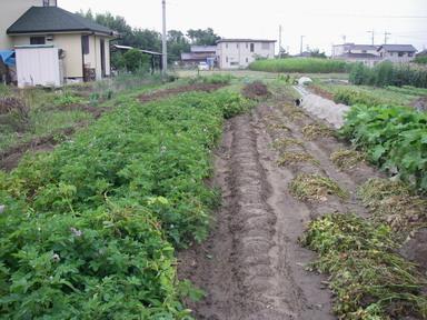 ジャガイモ畑12_06_24