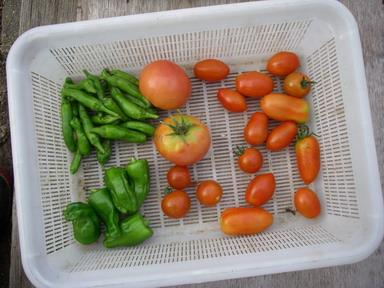 収穫トマトピーマン