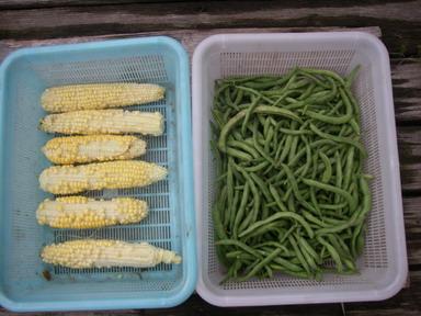 収穫スイートコーンインゲン12_07_22