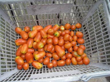 収穫トマト12_07_22