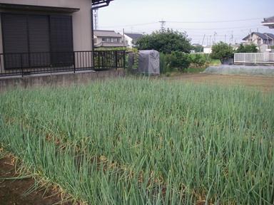 菜園№2ネギ12_07_26