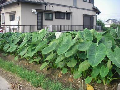 菜園№2里芋12_07_26