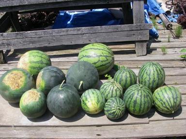 収穫スイカ12_08_04