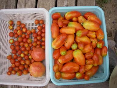 収穫トマト12_08_04