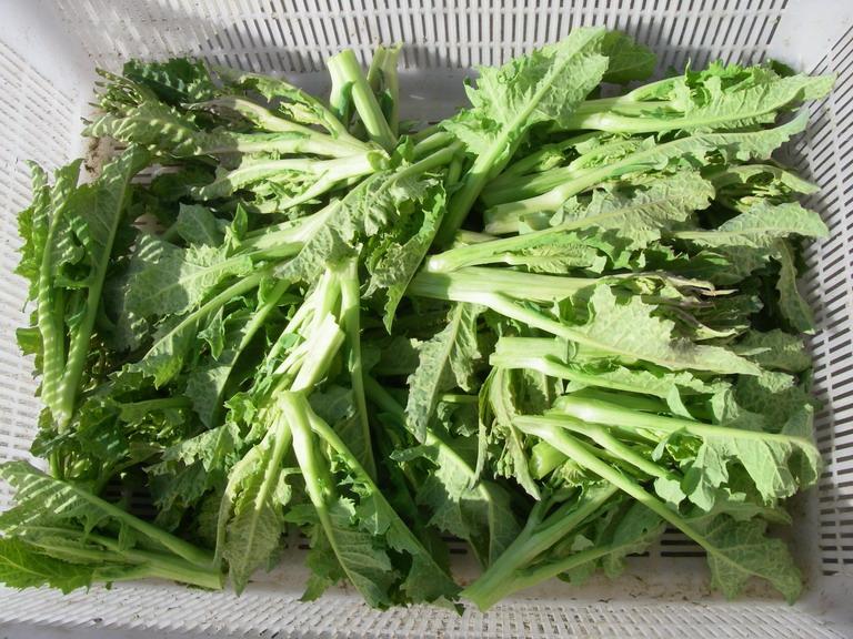 収穫菜花13_02_09