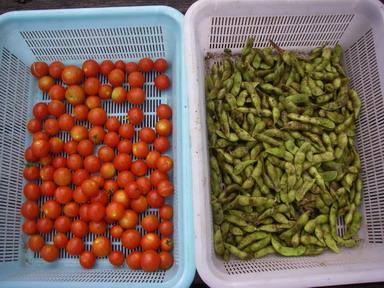 収穫トマト枝豆12_08_11