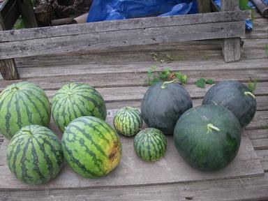 収穫スイカ12_08_11