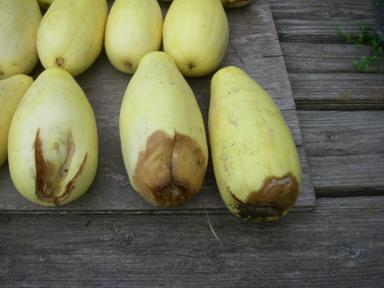 傷んだバナナウリ12_08_11