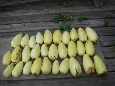 収穫バナナウリ12_08_11