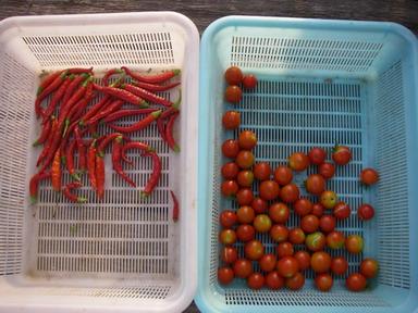 収穫トマトタカノツメ12_08_12