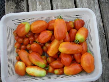 収穫トマト12_08_13