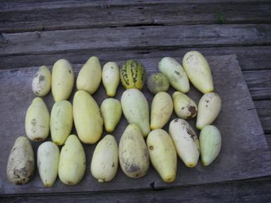 収穫ウリ12_08_16