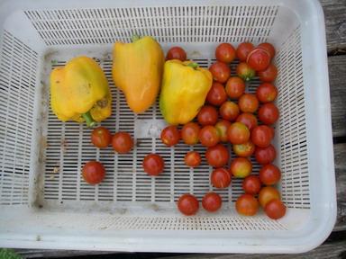 収穫トマト12_08_16