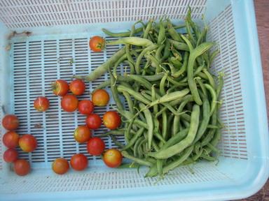 収穫トマトインゲン12_08_17