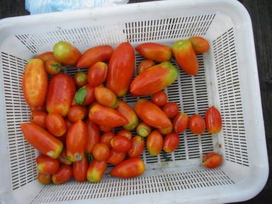 収穫トマト12_08_18