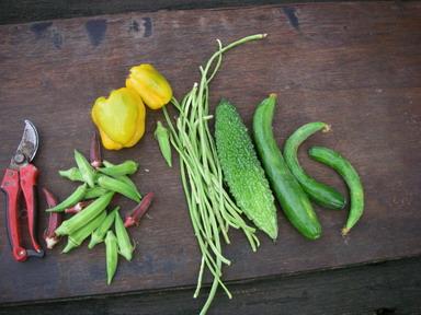 収穫夏野菜12_08_19