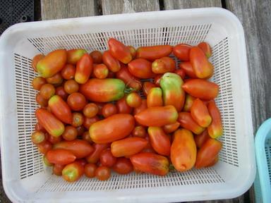 収穫トマト12_08_21