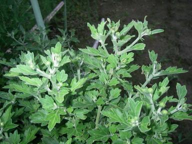 食用菊12_08_22