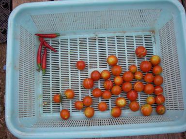 収穫トマト12_08_22