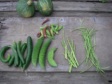 収穫夏野菜12_08_22
