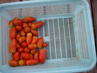 収穫トマト12_08_23