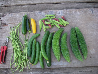 収穫夏野菜12_08_25